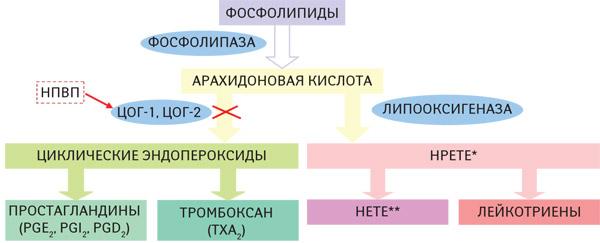 Схема метаболизма арахидоновой кислоты иее роль вразвитии воспаления