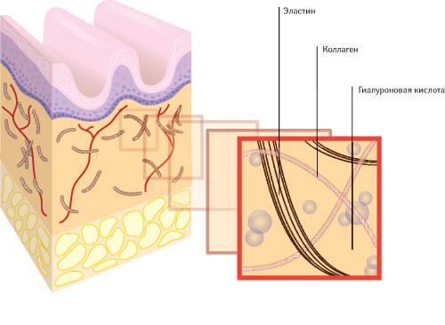 Старение кожи: снижается синтез коллагена иэластина, разрушаются коллагеновые волокна, замедляется регенерация эпидермиса, ухудшается кровоснабжение кожи