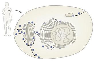 Схема везикулярного транспорта белковых молекул вэукариотической клетке