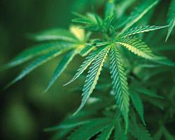Культивування рослин, що містять наркотичні засоби і психотропні речовин, та обіг підконтрольних речовин: Уряд визначив розміри квот