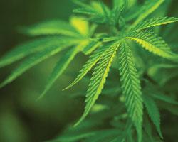 Марихуана при пониженном давлении мама марихуана линда
