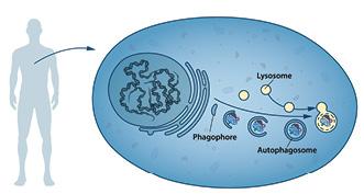 Формирование аутофагосомы. Фагофора растягивается для формирования двойной мембраны аутофагосомы, которая поглощает цитоплазматический материал. Аутофагосома сливается слизосомой, вкоторой содержимое подвергается деградации.