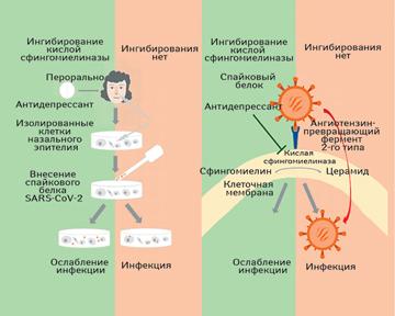 Ремдесивир хорошо сочетается сдвумя известными препаратами